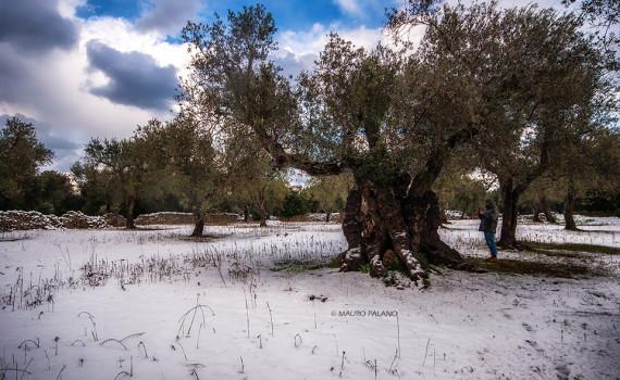 Il mio amico Danilo che in un'atmosfera magica ammira il maestoso ulivo ultra-secolare di Borgagne in un paesaggio mozzafiato.