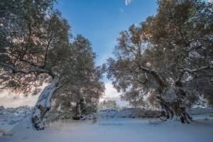9 - Ulivi secolari sotto la neve